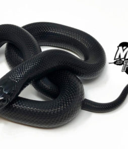Products Archive - Mexican Black Kingsnake